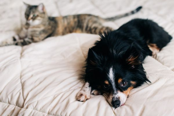 Black, brown and white dog laying on bed cover next to brown and black cat