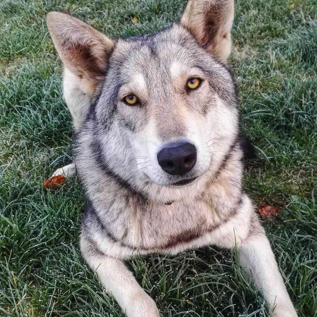 A wolf dog looking into the camera.