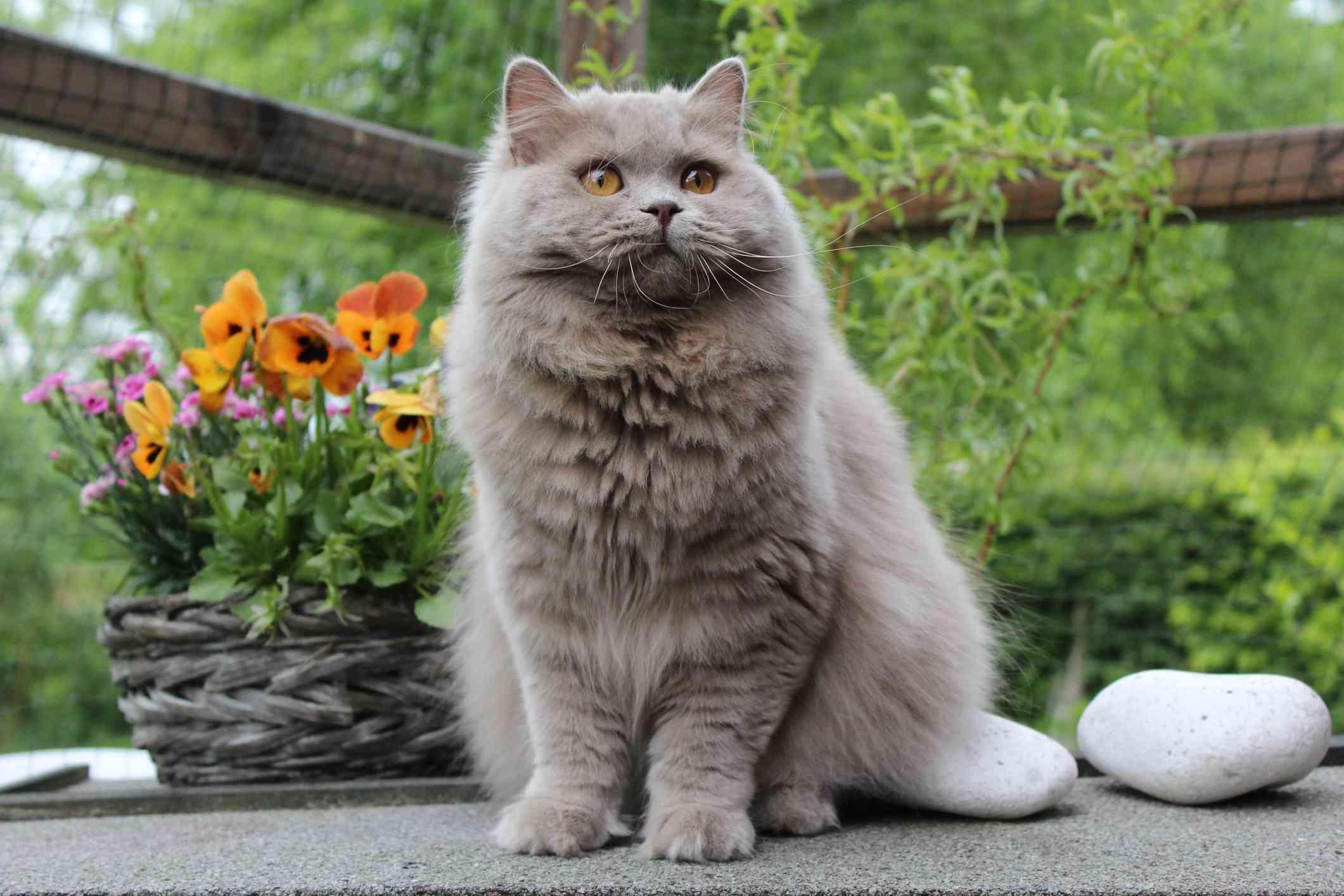 Gato gris británico de pelo largo sentado afuera frente a las flores