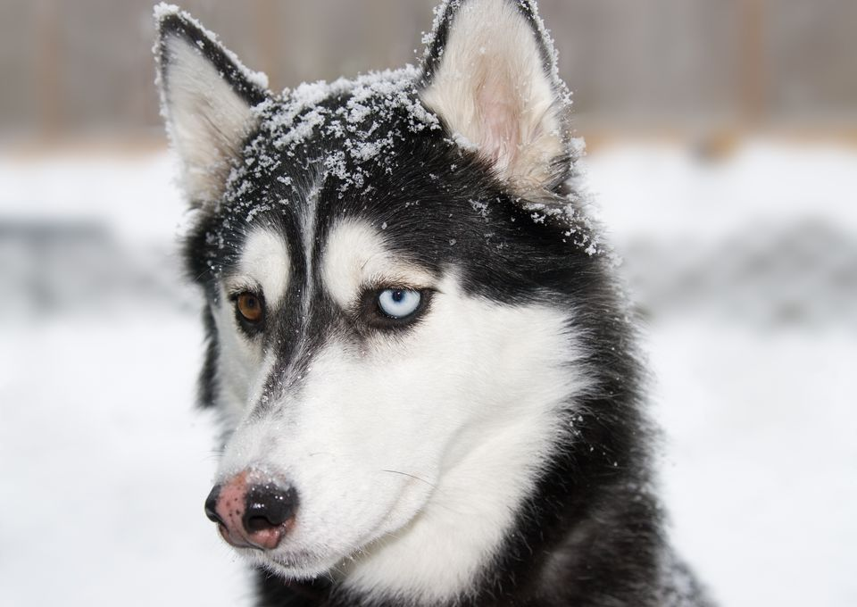 Dog with snow nose