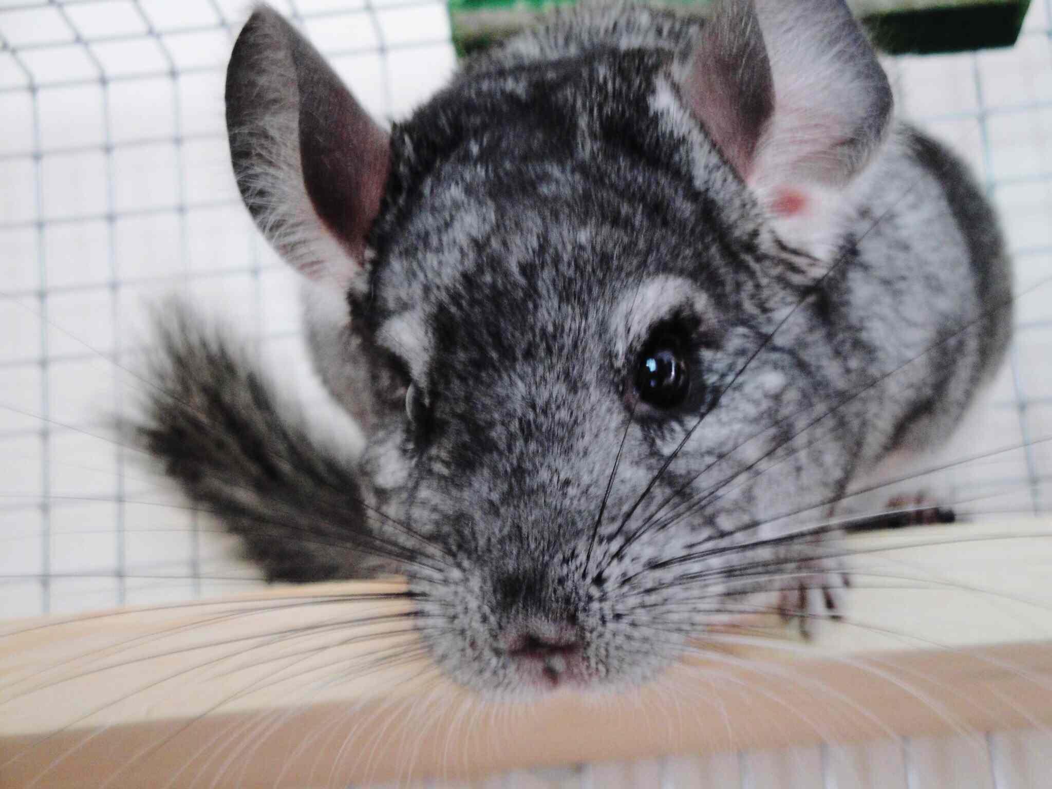 Closeup of a gray chinchilla