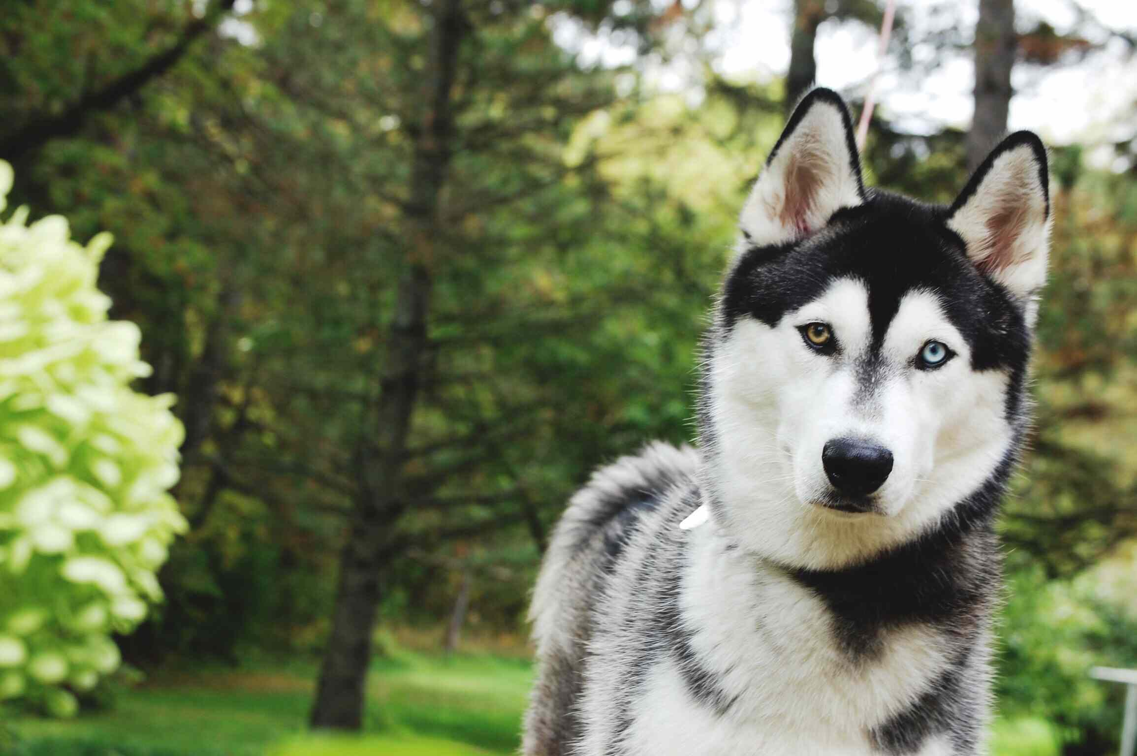Husky in a garden with trees in background