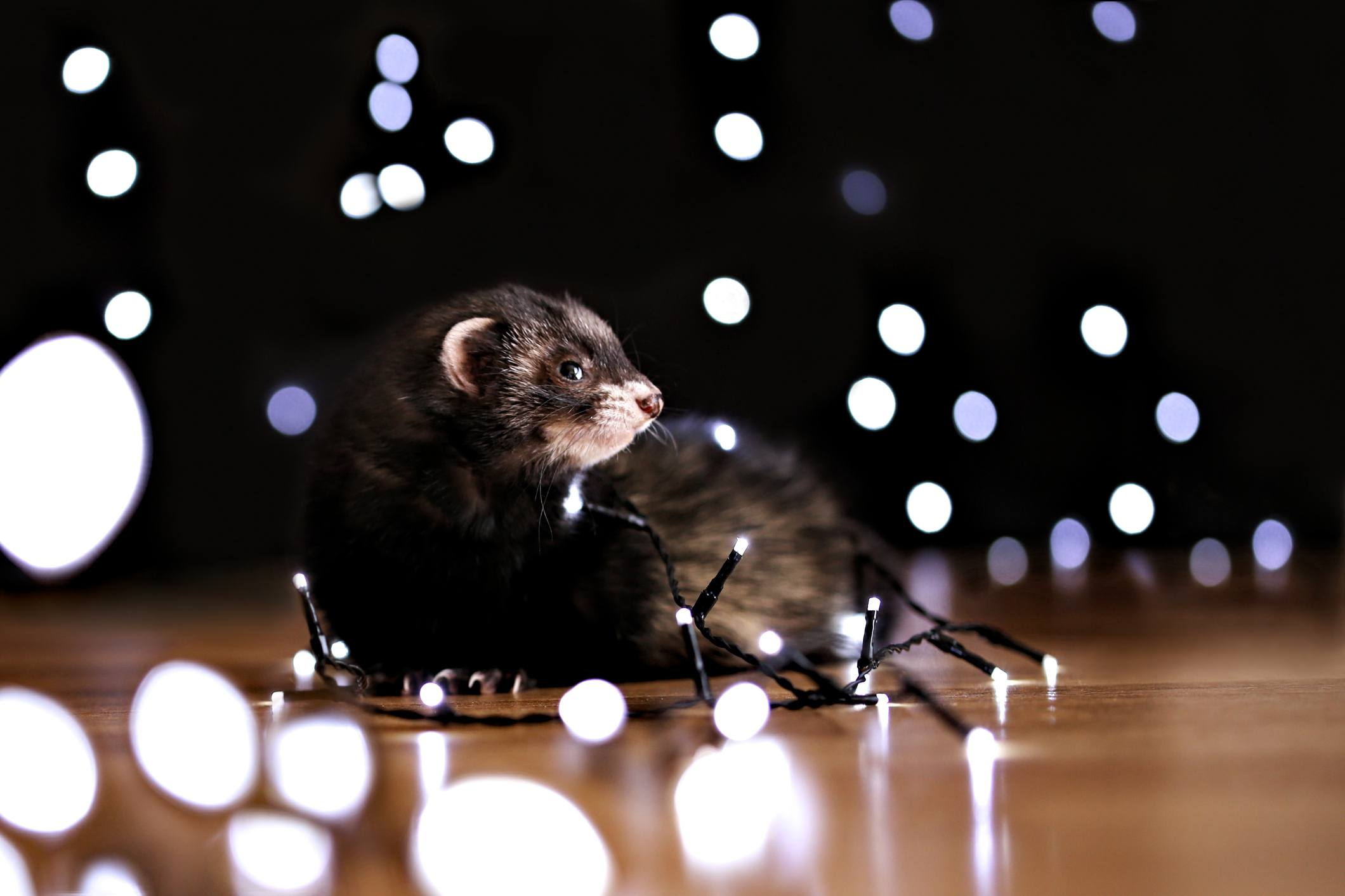 Ferret with string lights