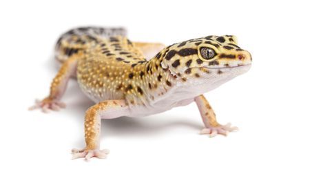 A Guide To Caring For Leopard Geckos