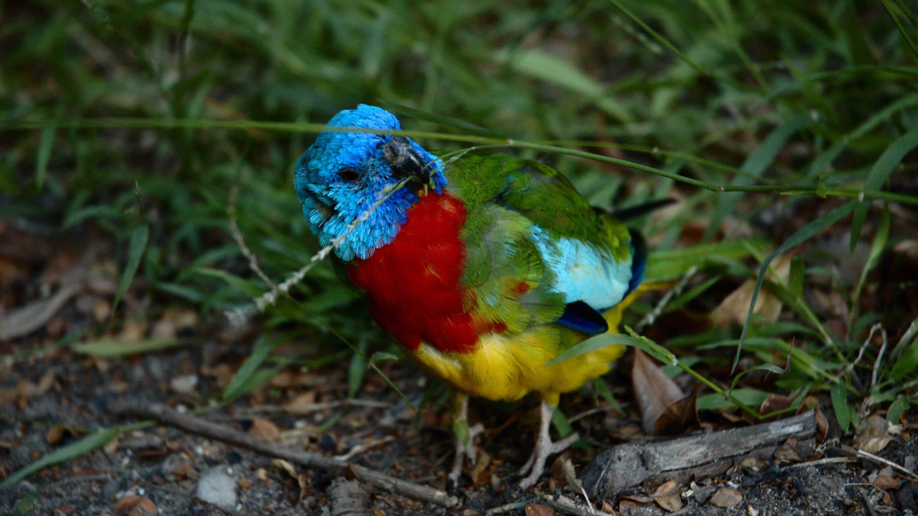 Scarlet Chested Parakeets as Pets - Species Profile