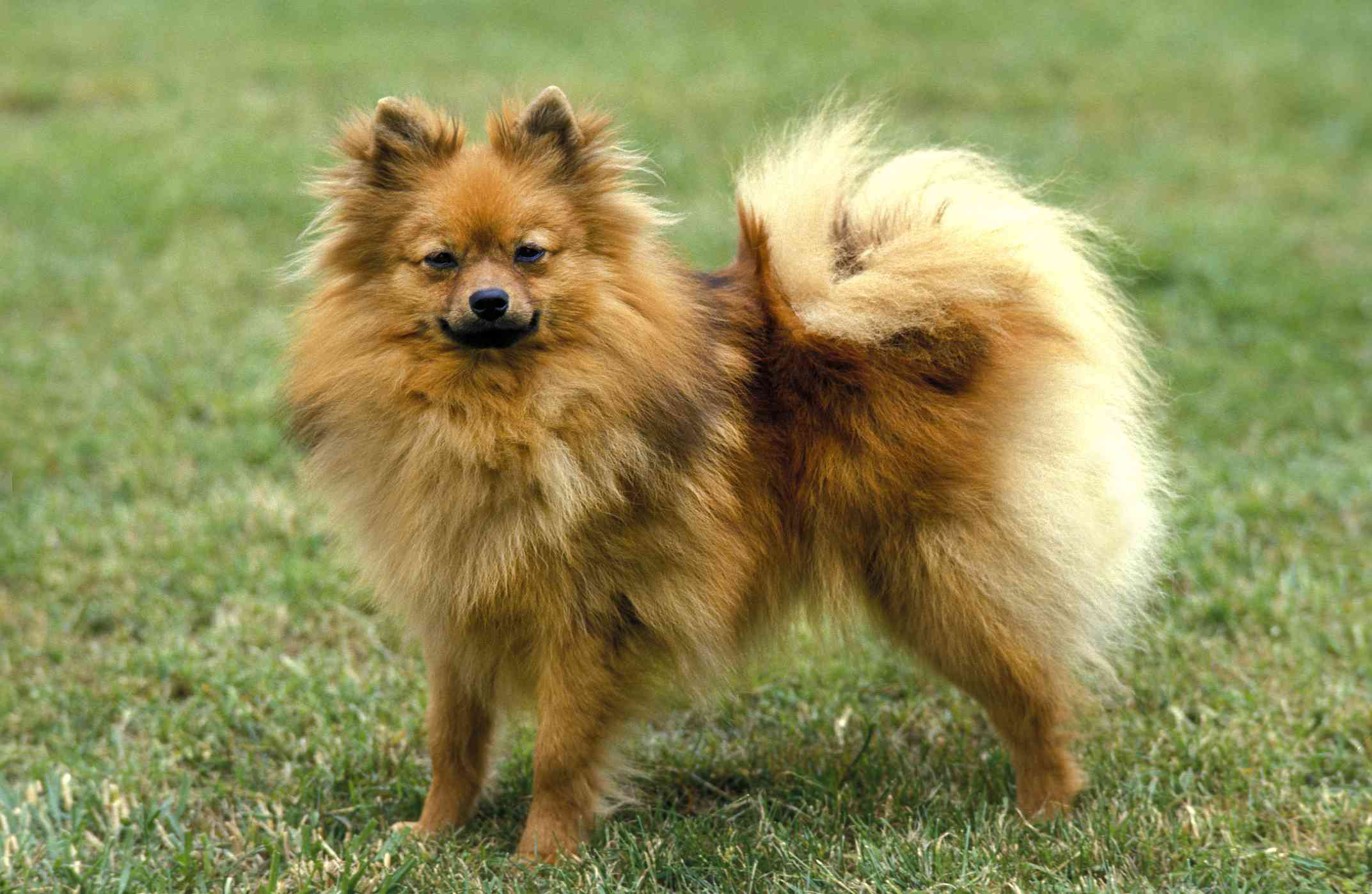 German spitz dog portrait