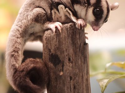 BML Diet for Sugar Gliders Recipe