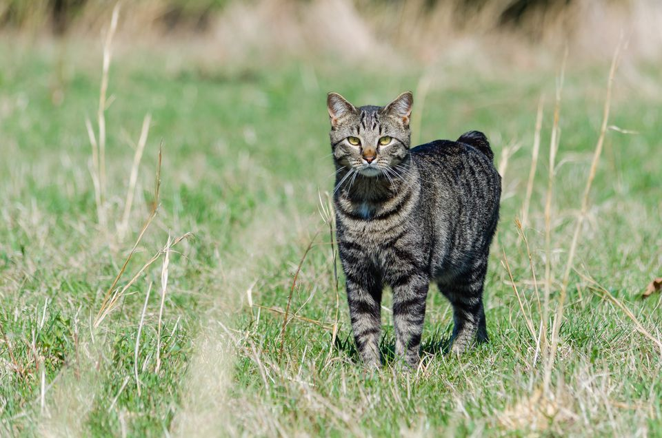 Portrait Of Manx Cat On Field