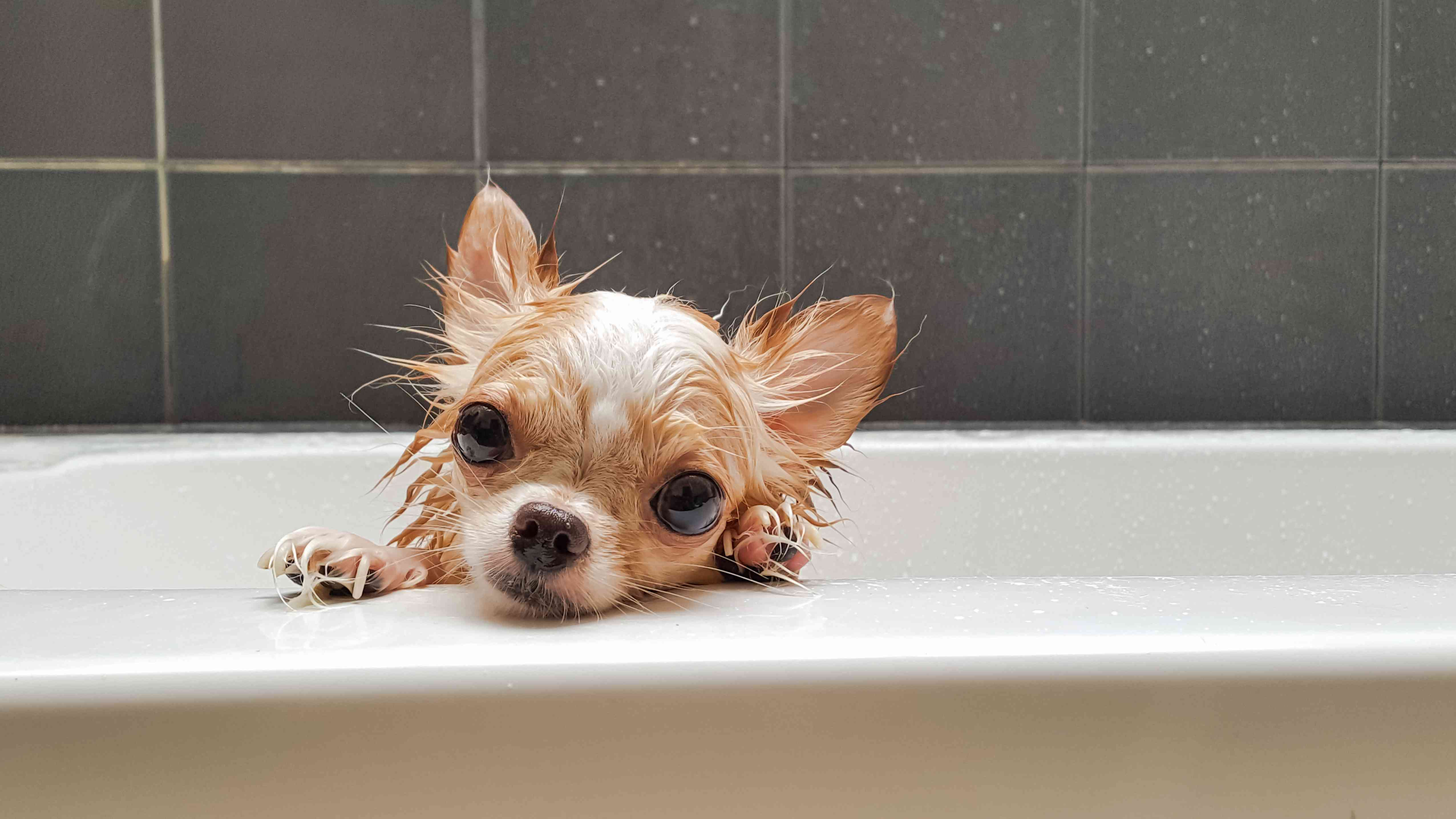 A chihuahua looking over the edge of bathtub