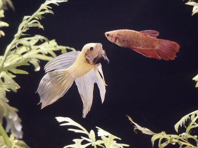 how to treat swim bladder disorder in aquarium fish