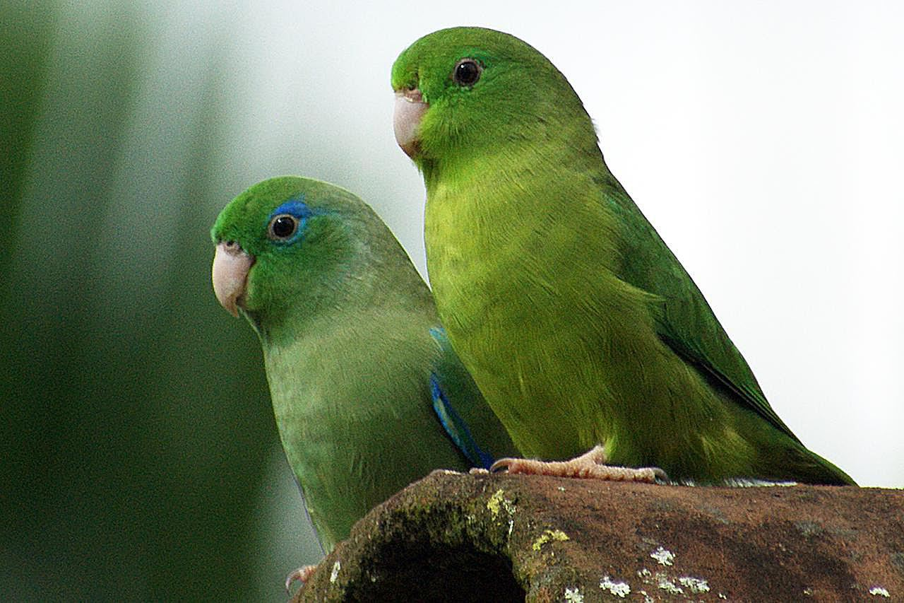 A pair of Spectacled Parrotlets in Colombia