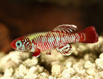 Stunning red killifish swimming in an aquarium.