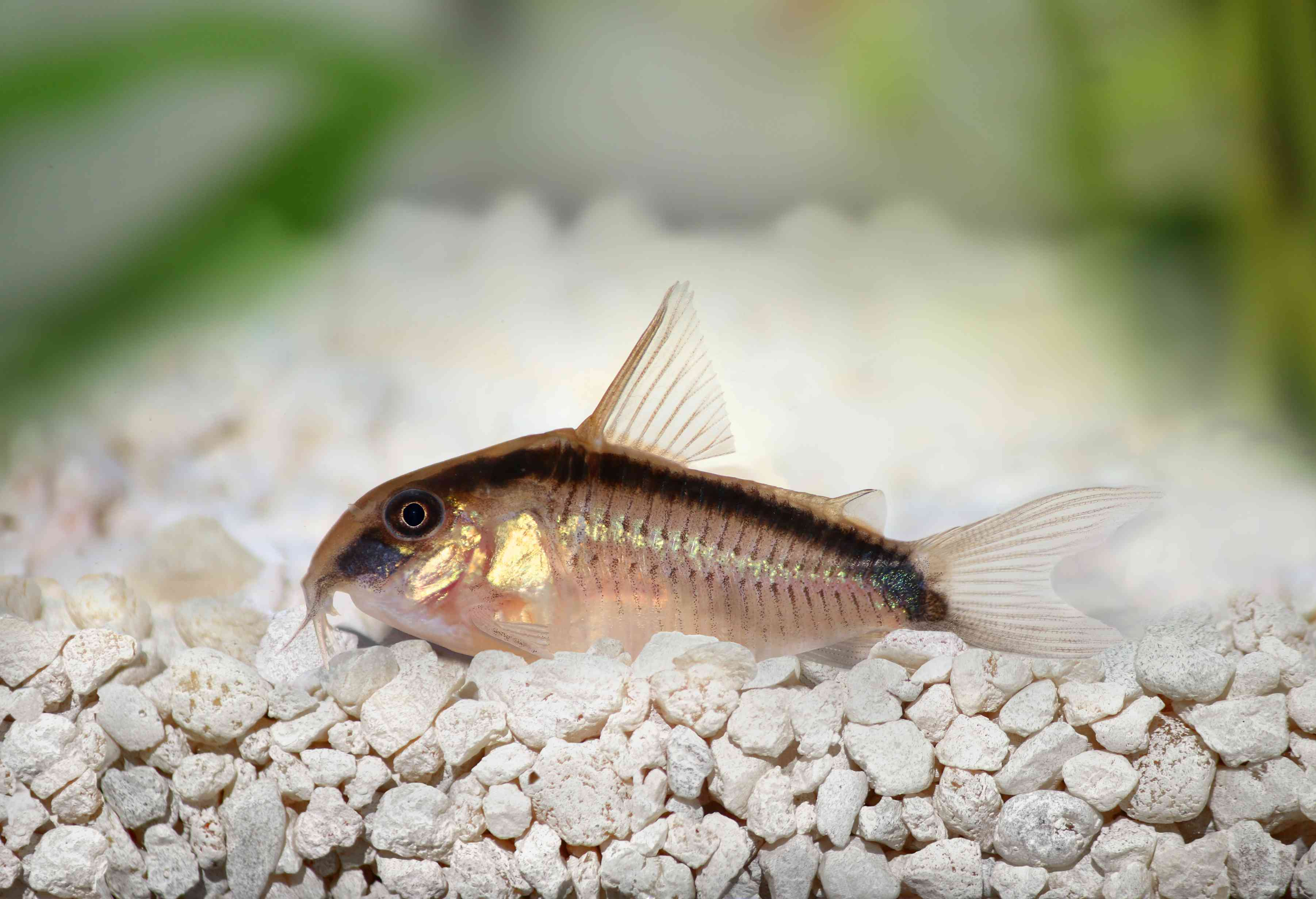 Skunk corydora resting on white rocky substrate