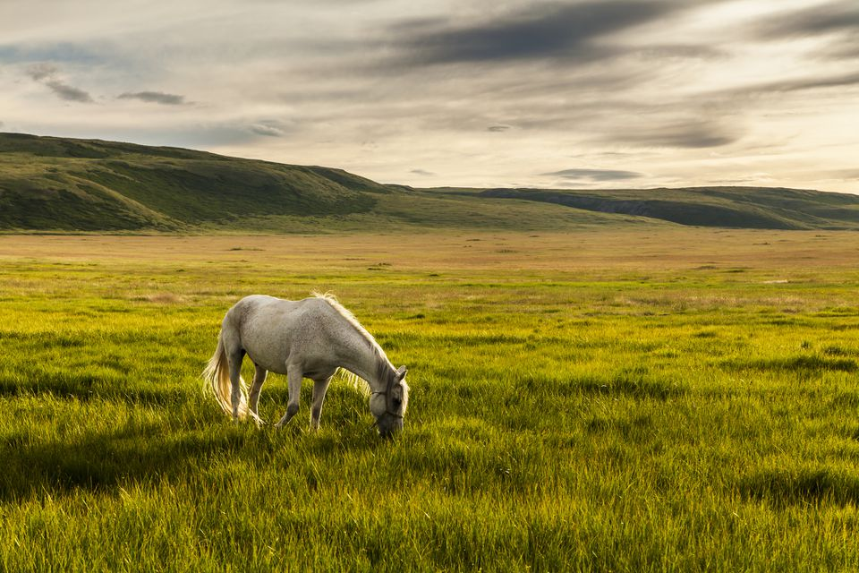 White horse grazing in pasture