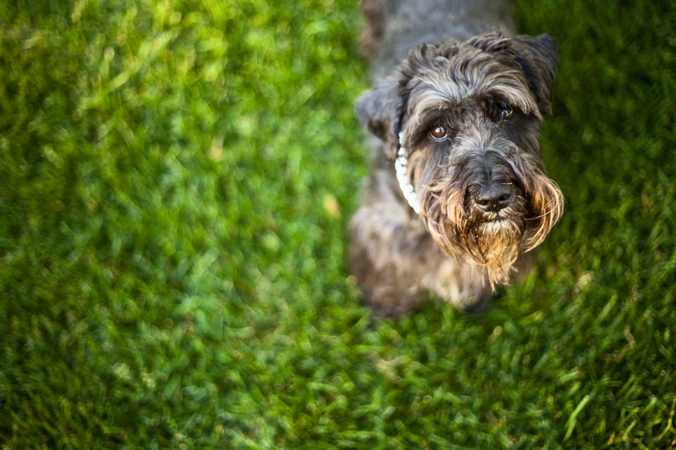 Dog on grass looking up at camera