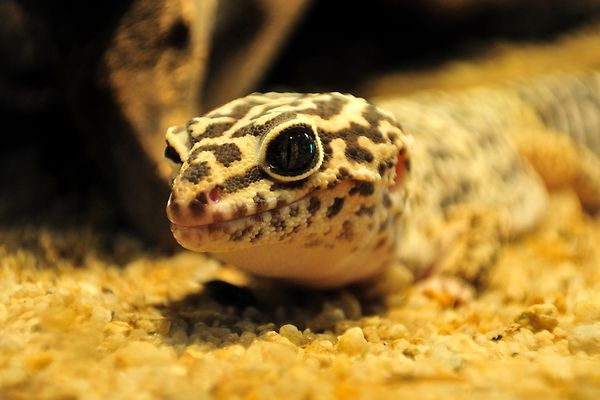 Leopard Gecko on a substrate