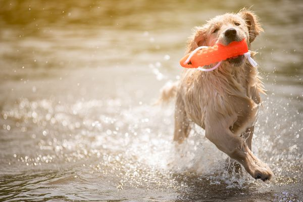 Golden retriever puppy holding an orange floating toy in his mouth while he runs in the water.