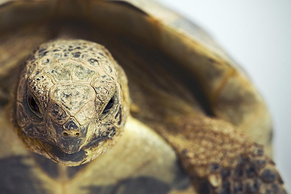 Portrait of a greek tortoise (testudo graeca).