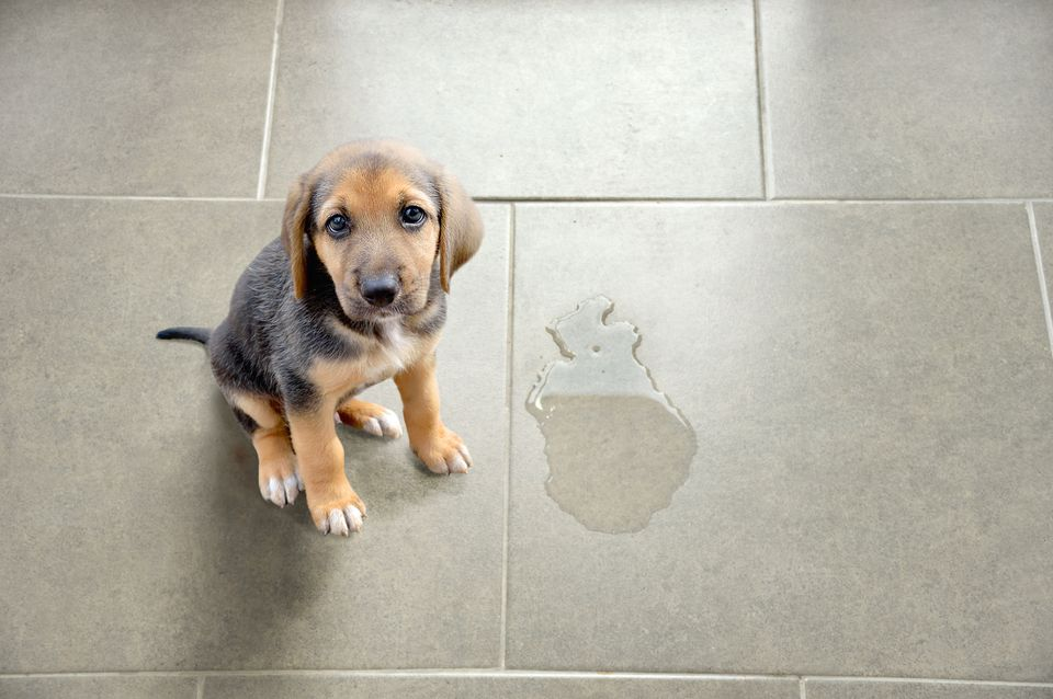 Puppy sitting by wet spot