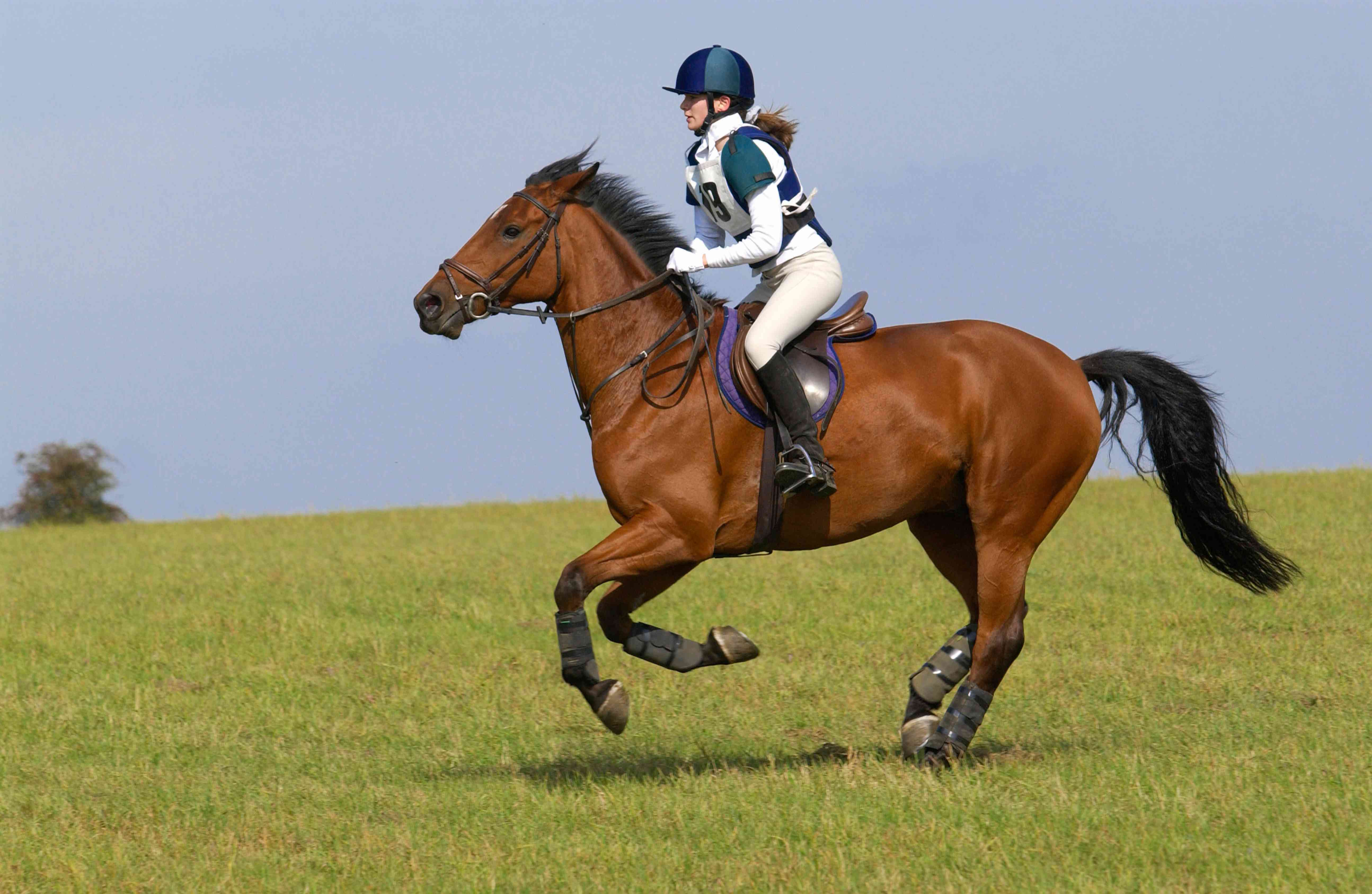 Cleveland Bay competing cross country in eventing