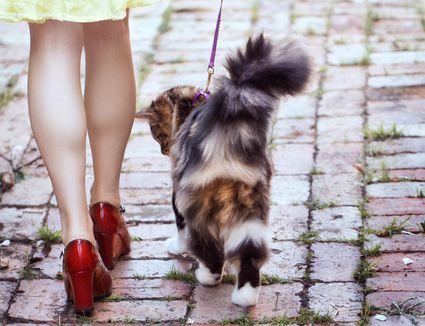 Cat walking outside on a leash on bricks