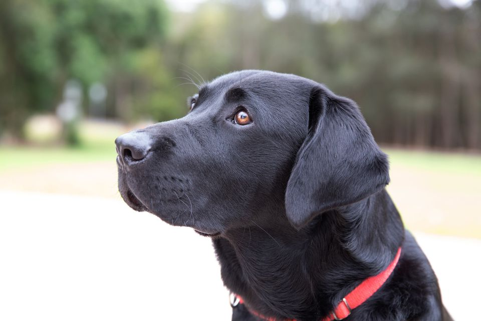Black labrador retriever dog with red collar looking up