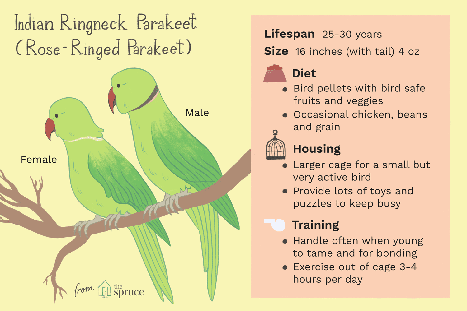 indian ringneck parakeet (rose-ringed parakeet) as pets