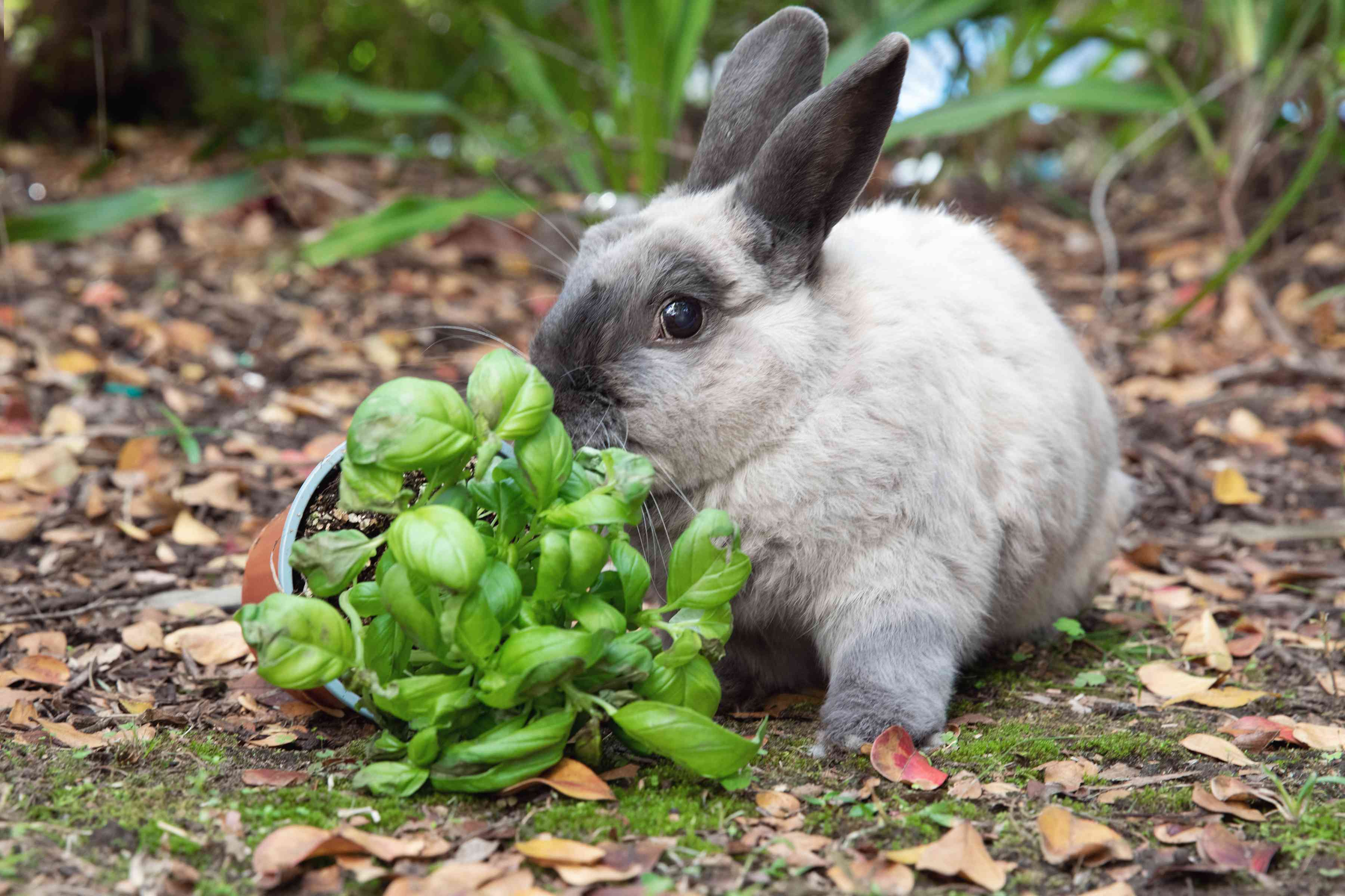 Gray rabbit eating a tipped over basil plant outside