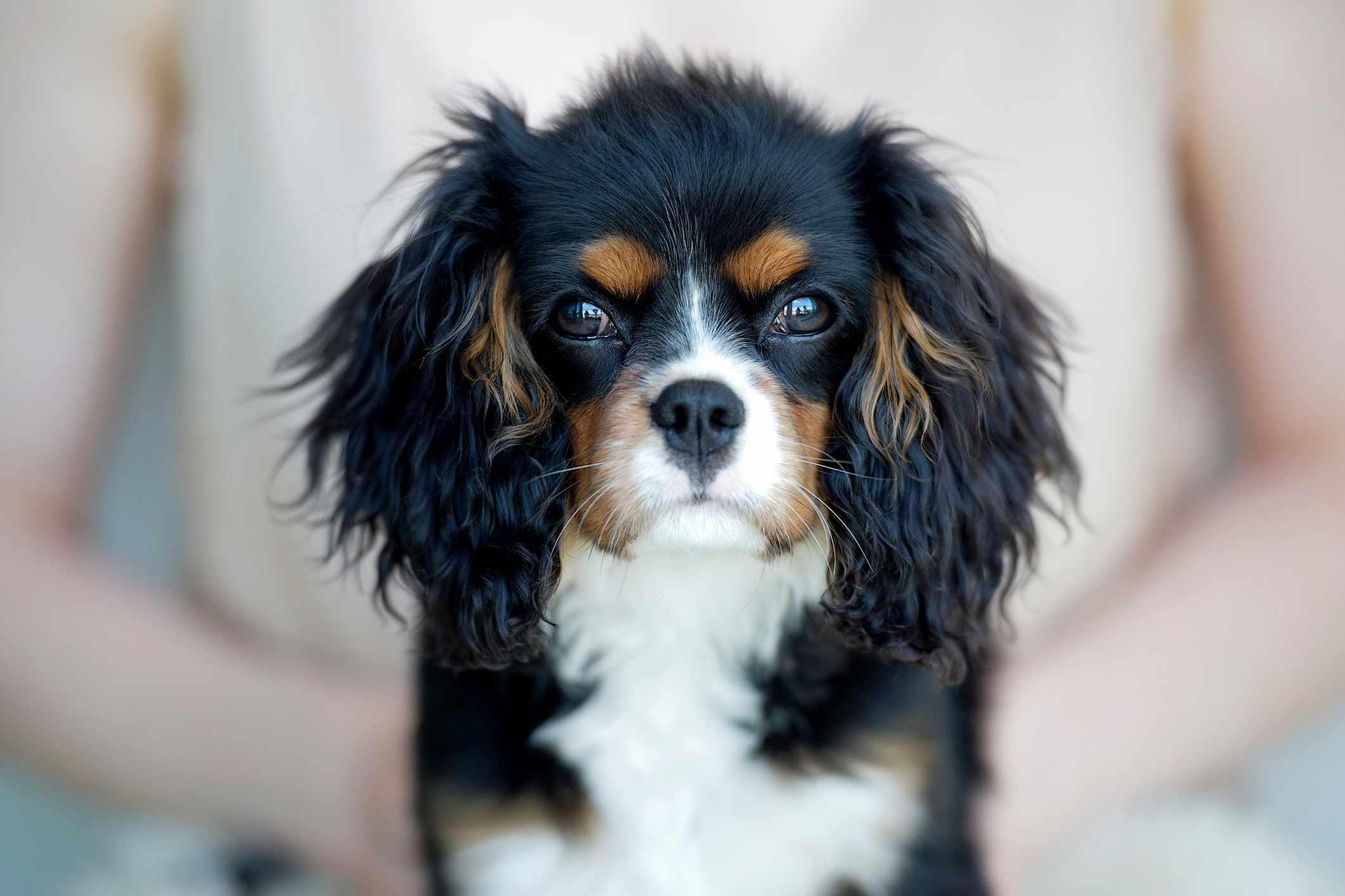 Cavalier King Charles Spaniel;  nombres de perros elegantes