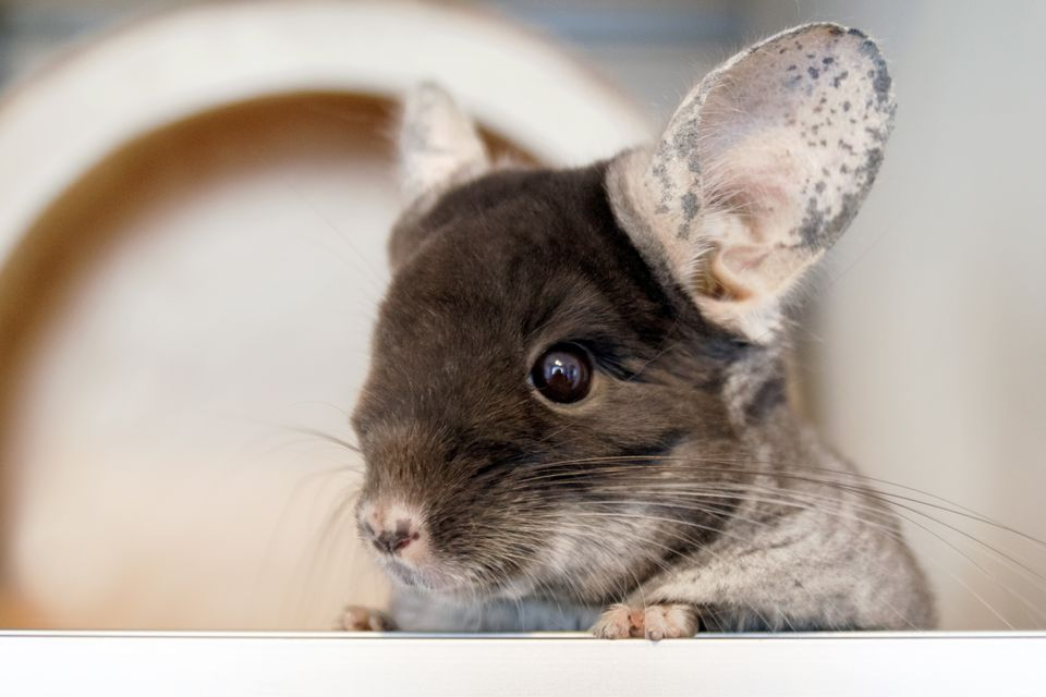 Cute chinchilla of brown velvet color is sitting in his house and looking away, side view.