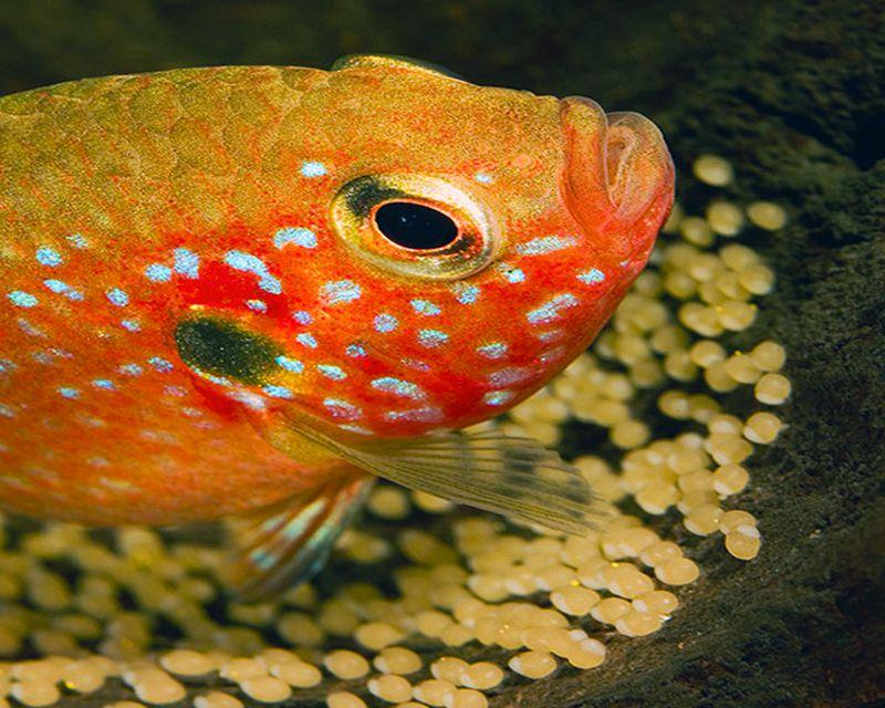 Jewel Fish guarding its eggs
