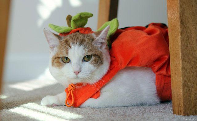 gato en un traje de calabaza mirando molesto