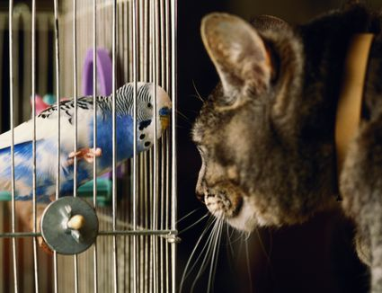 Budgerigar and cat face to face through birdcage