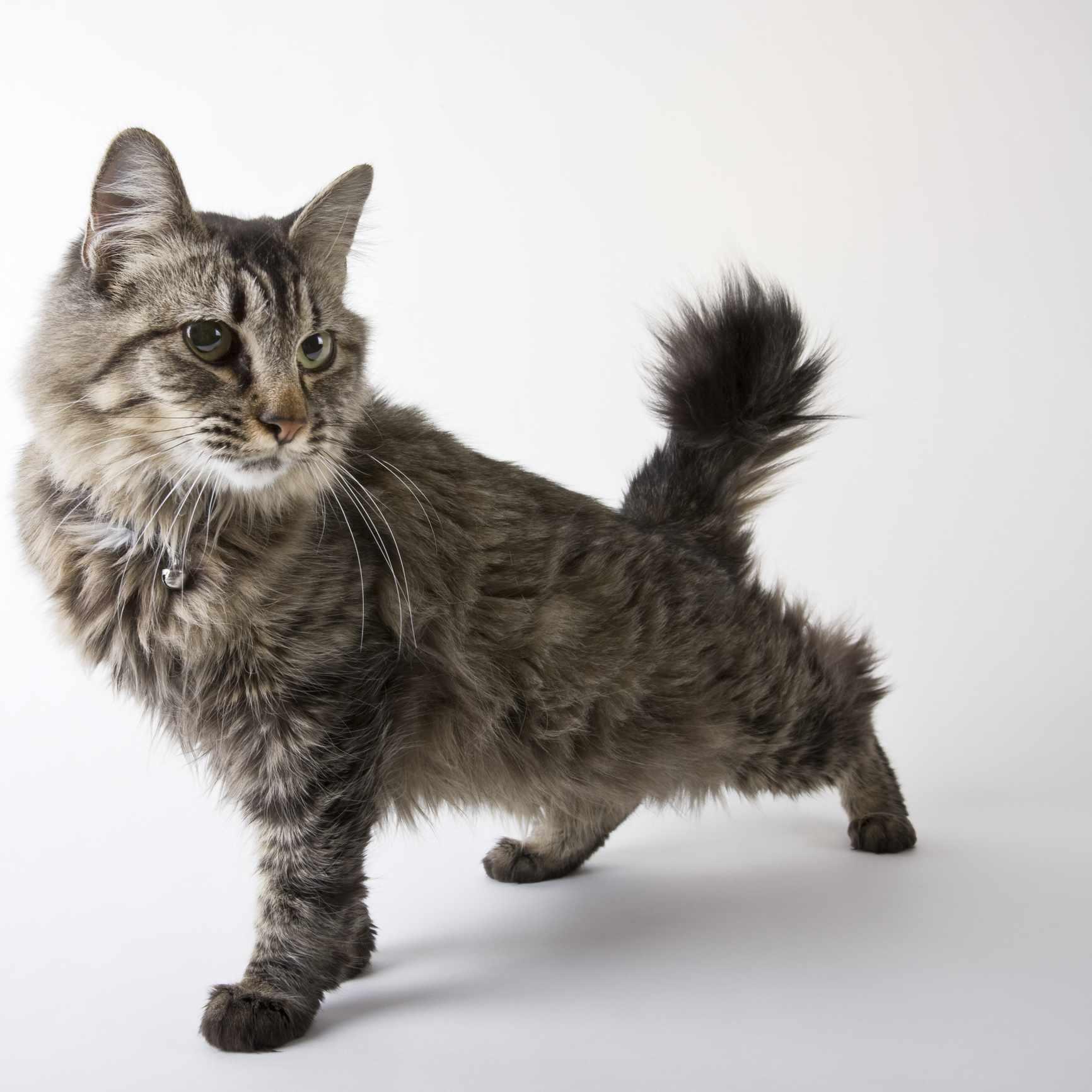 Retrato de raza de gato bobtail americano