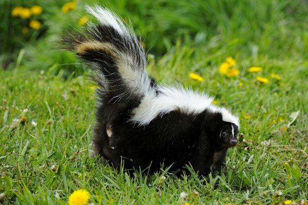 Striped skunk (Mephitis mephitis) adult