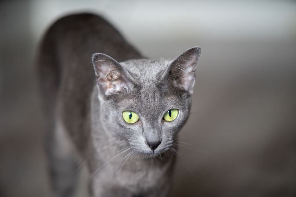 Korat cat portrait