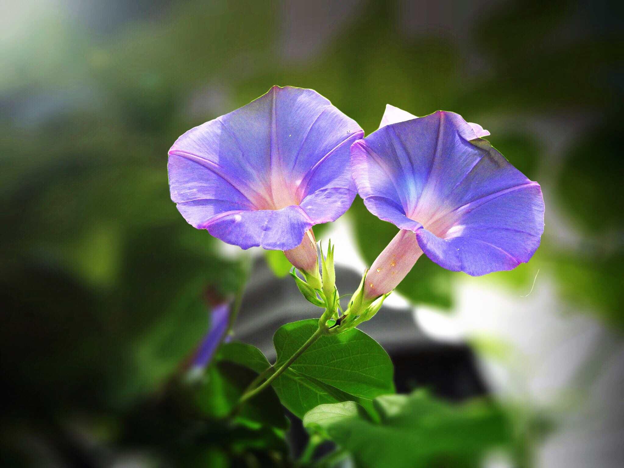 Morning glories blooming outdoors