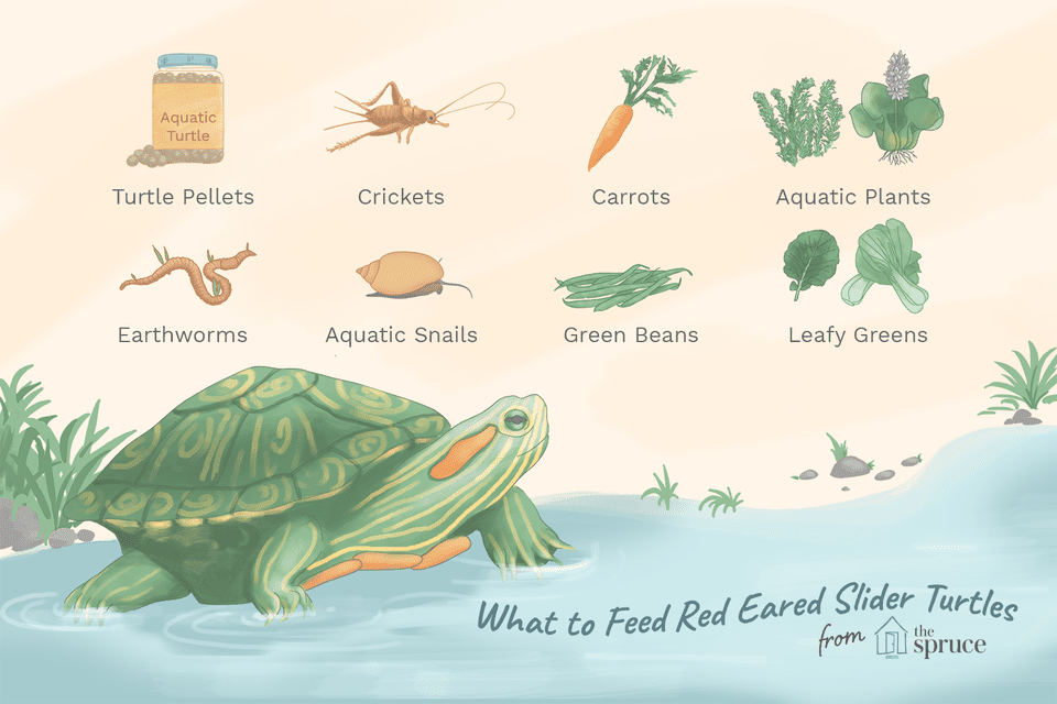 what to feed red eared slider turtles