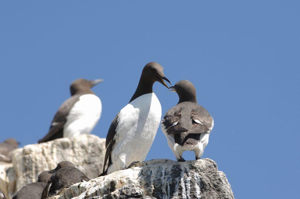 Seabirds Farne Islands, England