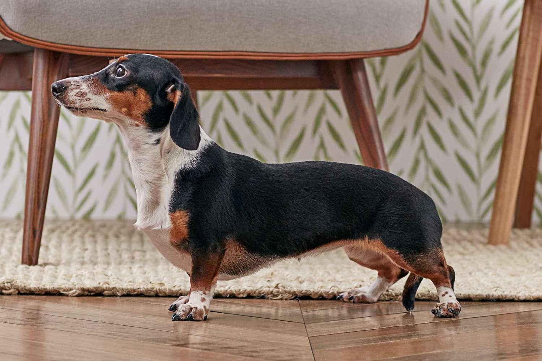 Perfil lateral de un perro salchicha
