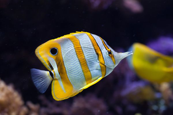 Copperband butterflyfish (Chelmon rostratus).