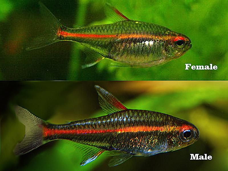 Breeding the Glowlight Tetra