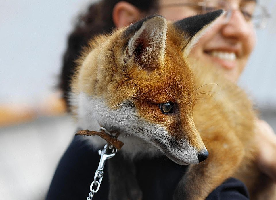 Close up view of a woman holding a fox