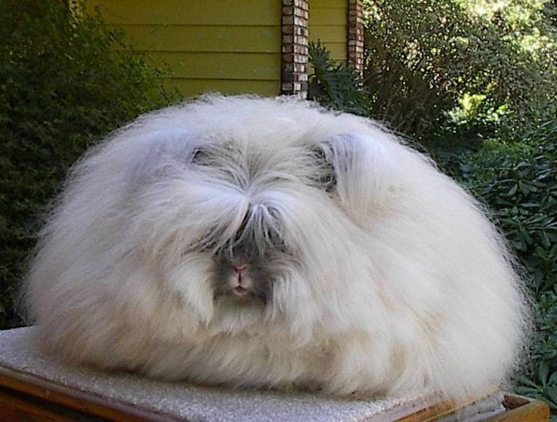 Fluffy English angora rabbit sitting on a table.