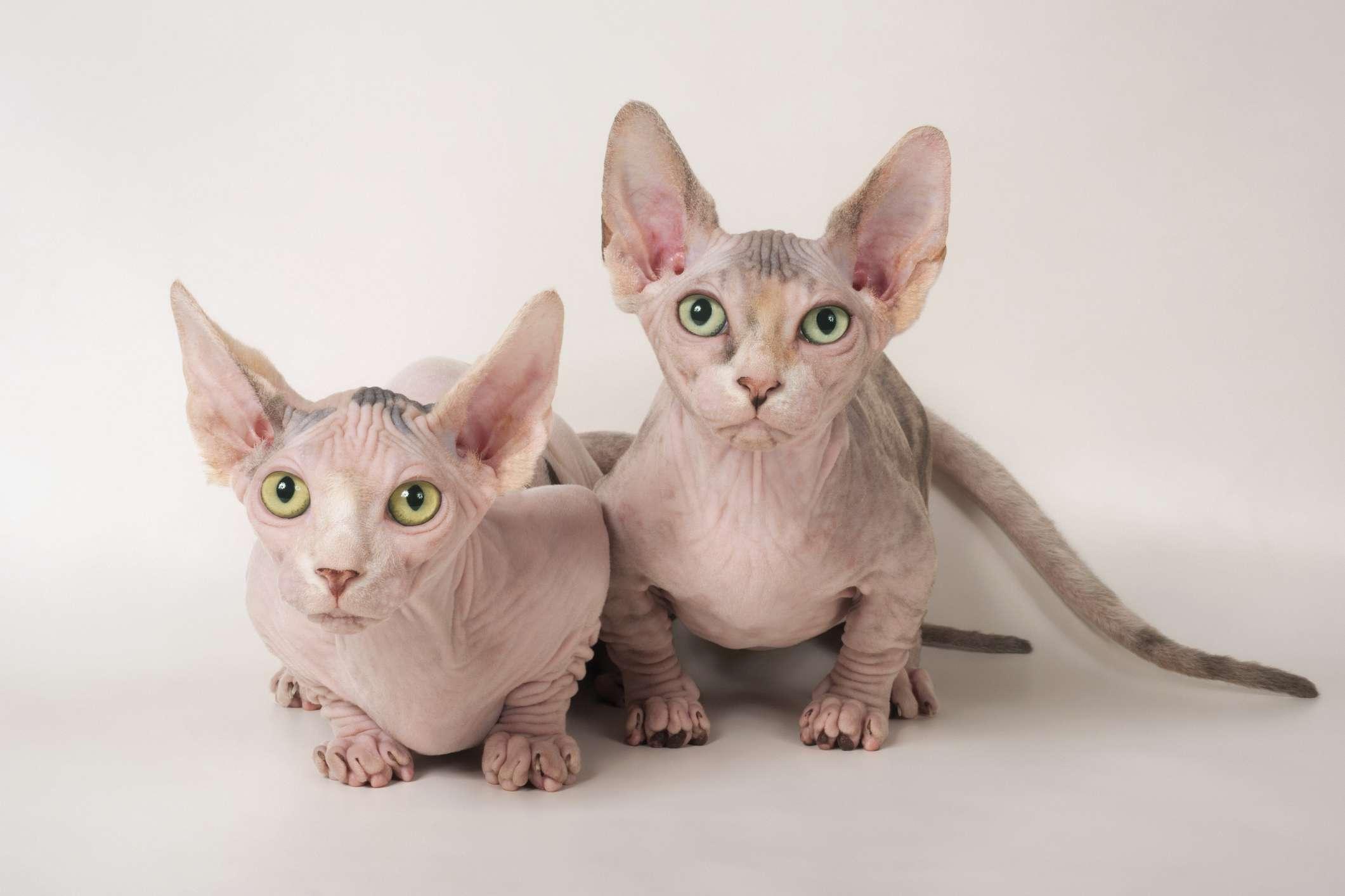 Two Youn Bambino Cats