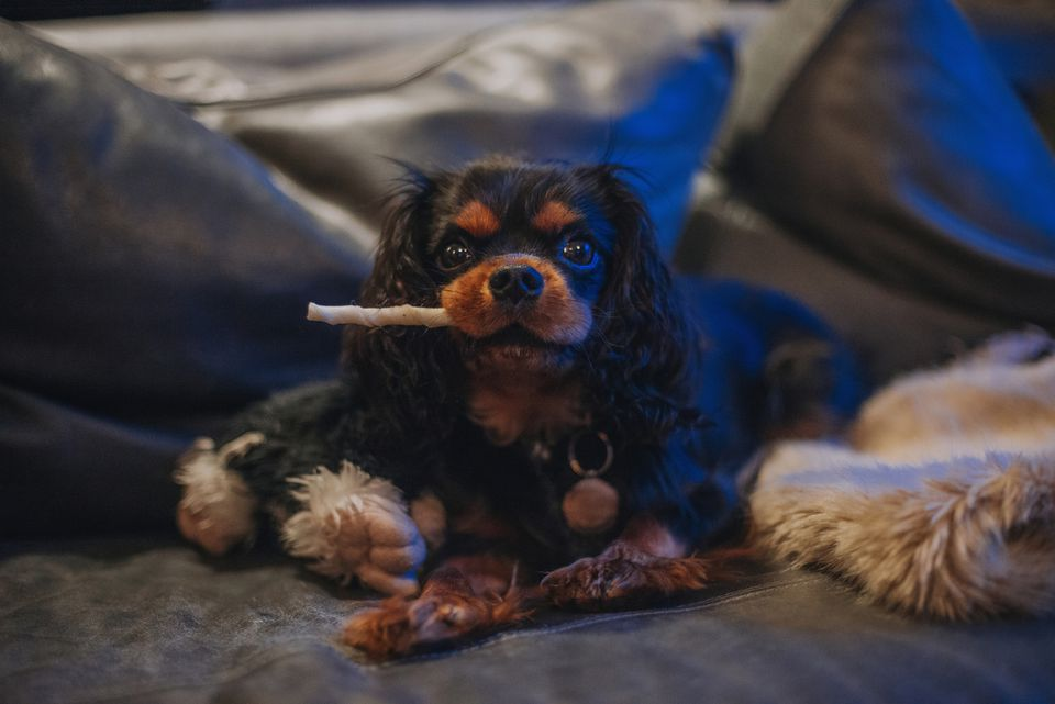 Cavalier King Charles Spaniel puppy with dog chew