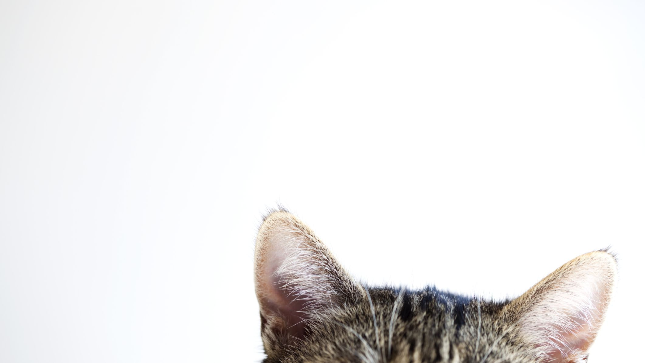 All About Sense of Hearing in Cats