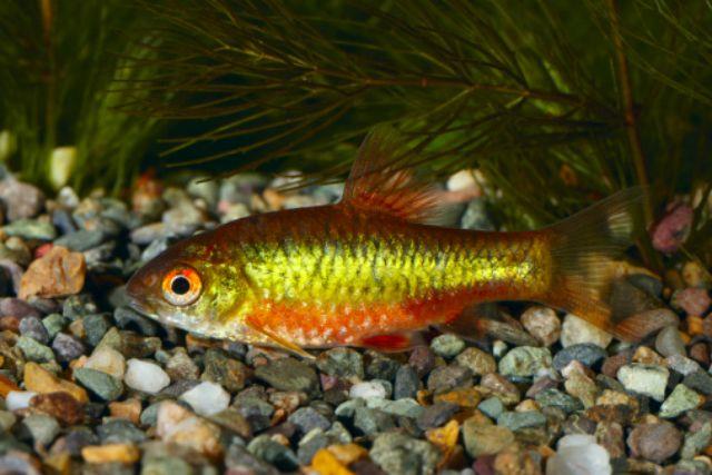 Fish Species Suitable for Cold Water Aquariums