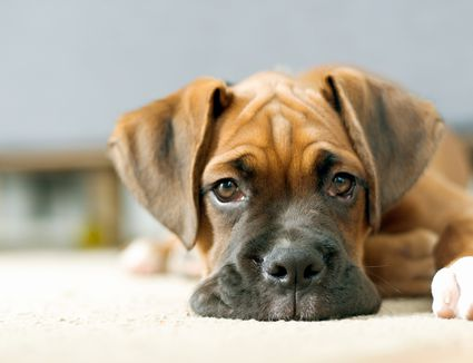 Close view of a puppy laying on the floor