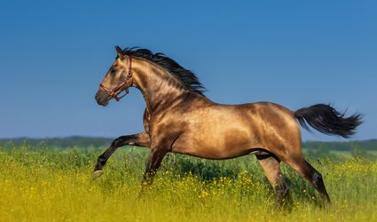 Bay Andalusian stallion cantering through a field of yellow flowers